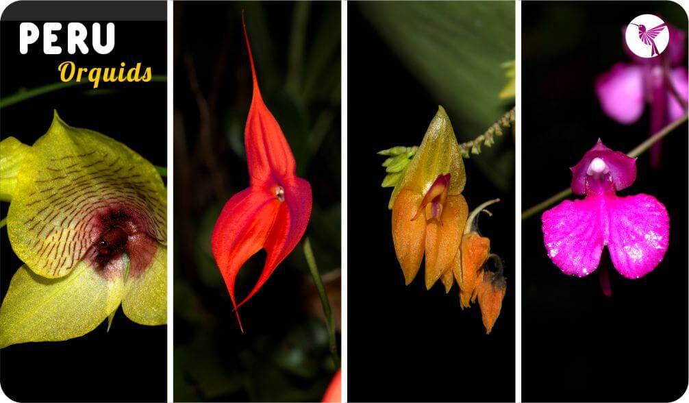 orquids of machu picchu