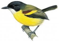 Golden-winged Tody Flycatcher
