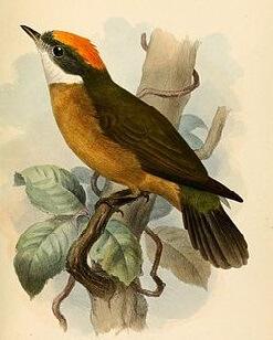 Orange-Crowned Manakin